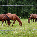 Grazing Horses - Cades Cove - Great Smoky Mountains Tennessee by Jon Berghoff