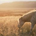 Grazing Icelandic Horse by Michael Ver Sprill