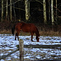 Grazing In A Washington Winter by Clayton Bruster
