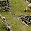 Grazing In Machu Picchu by Brandy Little