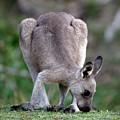 Grazing Kangaroo by Nicholas Blackwell