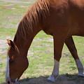 Grazing Horse by Roberta Byram