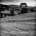 Grazing Sheep by Thomas R Fletcher