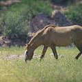 Grazing Wild Mustang  by Saija  Lehtonen