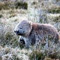Grazing Wombat by Nicholas Blackwell