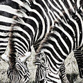 Grazing Zebras Close Up by Darcy Michaelchuk