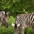 Grazing Zebras by Sonja Anderson
