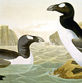 Great Auk (alka Impennis): by Granger