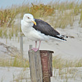 Great Black Backed Gull - Larus Marinus by Mother Nature