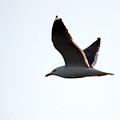 Great Black-backed Gull 2  by Jouko Lehto