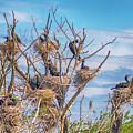 Great Black Cormorants Colony - Danube Delta by Jivko Nakev