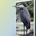 Great Blue Heron - Red-cyan 3d Glasses Required by Brian Wallace