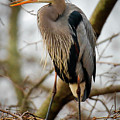 Great Blue Heron 1 by Richard Xuereb