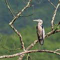 Great Blue Heron 2 by Bill Wakeley