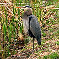 Great Blue Heron 2 by J M Farris Photography