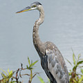 Great Blue Heron #2 by Paul Rebmann