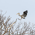 Great Blue Heron 2014-4 by Thomas Young