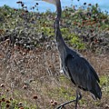 Great Blue Heron - 8 by Christy Pooschke