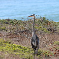 Great Blue Heron - 9 by Christy Pooschke