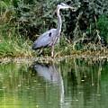 Great Blue Heron by Adrienne Wilson