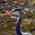 Great Blue Heron  by Allan  Hughes