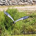 Great Blue Heron by Allen Sheffield