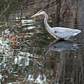 Great Blue Heron And Reflection IIi by Suzanne Gaff