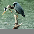 Great Blue Heron by Annette Persinger