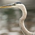Great Blue Heron by Anthony Towers