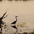 Great Blue Heron At Rollins by Warren Thompson