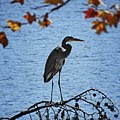 Great Blue Heron At Shores Of King's Mountain Point by Matt Taylor