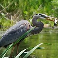 Great Blue Heron by Beth Deitrick