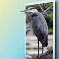 Great Blue Heron by Brian Wallace