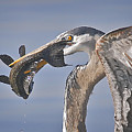 Great Blue Heron Catch Down The Hatch by Leslie Reagan -  Joy To The Wild Photos