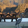 Great Blue Heron  by Christy Pooschke
