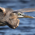 Great Blue Heron Close-up by Kevin Giannini
