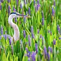Great Blue Heron by David Hart