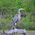 Great Blue Heron by Deanna Cagle