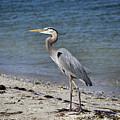 Great Blue Heron by Deborah Weinhart