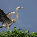 Great Blue Heron Delray Beach Florida by Lawrence S Richardson Jr