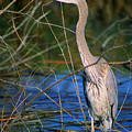 Great Blue Heron by Dennis Hammer