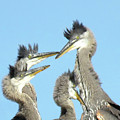 Great Blue Heron Discussion by Pat Miller