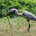 Great Blue Heron Eating Snake  by Christy Pooschke