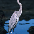 Great Blue Heron by Ed Robinson - Printscapes