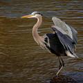 Great Blue Heron - Flooded Creek by Robert Frederick