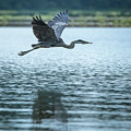 Great Blue Heron Flying by Jemmy Archer