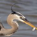 Great Blue Heron Gets Twofer by Robert Frederick