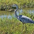 Great Blue Heron II by Linda Brody