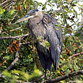 Great Blue Heron In A Tree by Sharon Talson