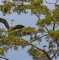 Great Blue Heron In Cypress  by Brent Bordelon